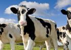 три коровы